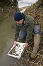 Releasing elvers back to the wetlands